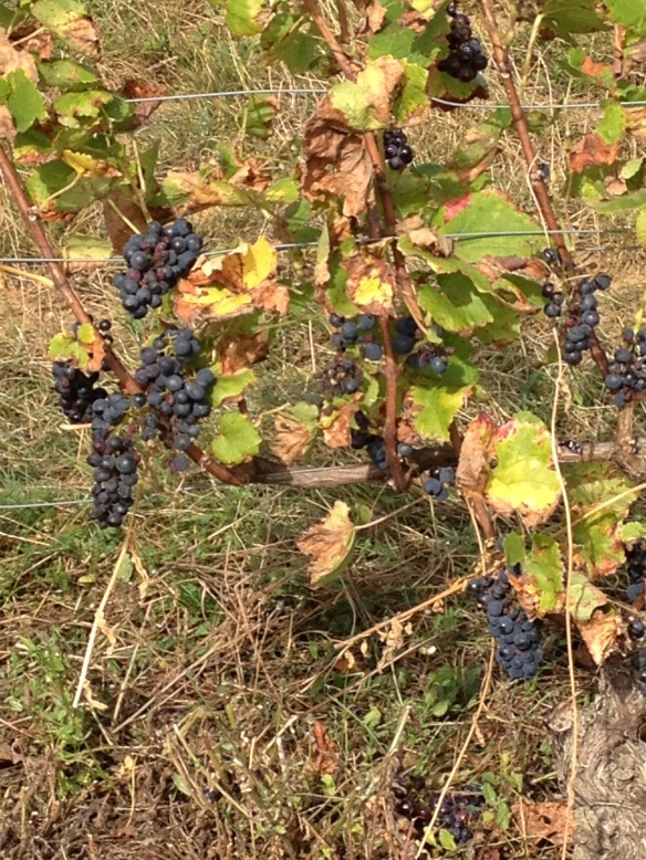 Pinot Noir grapes in the Cote de Nuits